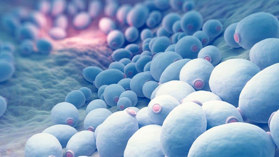 Saccharomyces Boulardii: ¿Qué lo hace funcionar como probiótico exitoso?